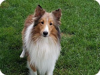 Sheltie, Shetland Sheepdog Dog for adoption in Stony Brook, New York - Devon