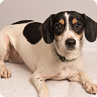 Adopt A Pet :: Otto Beagle Mix - St. Louis, MO