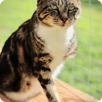 Domestic Shorthair Cat for adoption in San Antonio, Texas - Sam