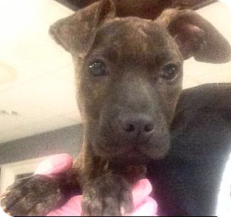 American Pit Bull Terrier Mix Puppy for adoption in Pompton Lakes, New Jersey - Nene