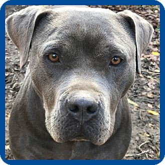 American Staffordshire Terrier/American Staffordshire Terrier Mix Dog for adoption in Glastonbury, Connecticut - Mama  Mia ❤️