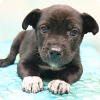 Adopt A Pet :: Petey - Bedminster, NJ