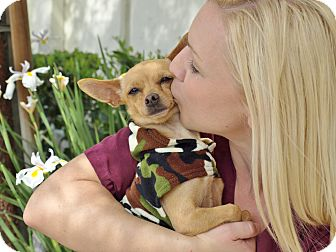 Chihuahua Dog for adoption in Mission Viejo, California - Skittle