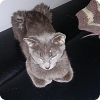 Adopt A Pet :: Grey Kitten - Chesterfield, VA