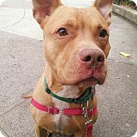 Adopt A Pet :: Ox - Brooklyn, NY