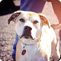 Adopt A Pet :: Sylvia - Enfield, CT