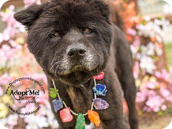 Chow Chow Mix Dog for adoption in Orange, California - Casanova