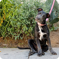 Adopt A Pet :: Sugar - Los Angeles, CA