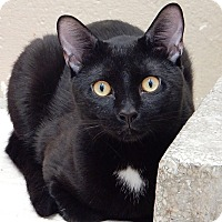 Bombay Cat for adoption in Long Beach, New York - George
