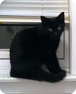 Bombay Cat for adoption in Medford, New Jersey - Panther