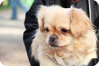 Pekingese Mix Dog for adoption in Morganville, New Jersey - Mia