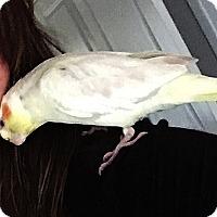 Adopt A Pet :: Ms. Nubs - Tampa, FL
