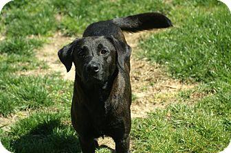 Labrador Retriever Mix Dog for adoption in Baltimore, Maryland - Millie