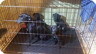Labrador Retriever/Pointer Mix Puppy for adoption in Dana Point, California - Lab/Pointer Mix Puppies!