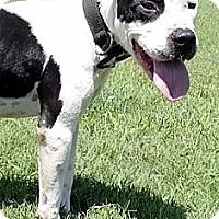Adopt A Pet :: JULES - Williamsburg, VA