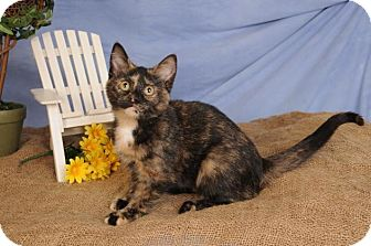 Domestic Shorthair Kitten for adoption in mishawaka, Indiana - Tortilla