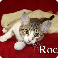 Domestic Shorthair Kitten for adoption in Jackson, Mississippi - Rocky