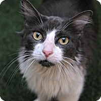 Domestic Longhair Cat for adoption in Des Moines, Iowa - Marie