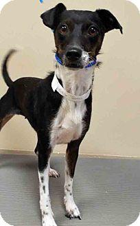 Rat Terrier Mix Dog for adoption in Oswego, Illinois - Tootsie
