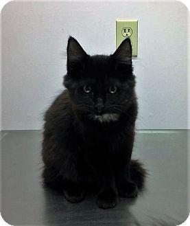 Domestic Mediumhair Kitten for adoption in North Wilkesboro, North Carolina - Meowlady
