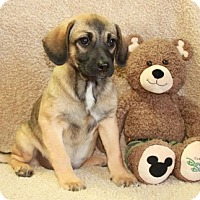 Pug/Beagle Mix Puppy for adoption in Foster, Rhode Island - Gayle