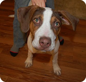 Great Dane/Terrier (Unknown Type, Medium) Mix Puppy for adoption in Minot, North Dakota - Maggie Lee