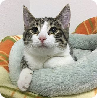 Domestic Shorthair Kitten for adoption in Toledo, Ohio - Edgar George