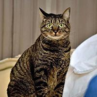 Adopt A Pet :: Tabby FE2-8876 - Thibodaux, LA