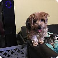 Adopt A Pet :: Cody - Davie, FL