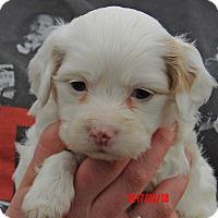 Adopt A Pet :: Snowball (2 lb) Video! - Burlington, VT