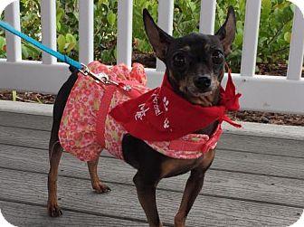 Miniature Pinscher Dog for adoption in Pompano beach, Florida - Bella