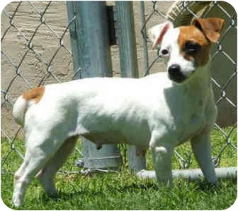 Jack Russell Terrier Dog for adoption in Phoenix, Arizona - PRINCESS