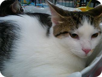 Domestic Shorthair Cat for adoption in Sterling Hgts, Michigan - Rambo( super personality)