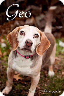 Beagle Dog for adoption in Schererville, Indiana - Geo