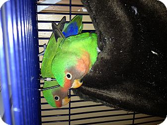 Lovebird for adoption in Punta Gorda, Florida - Cocoa & Cavat