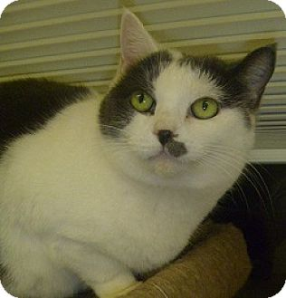 Domestic Shorthair Cat for adoption in Hamburg, New York - Momma Bear