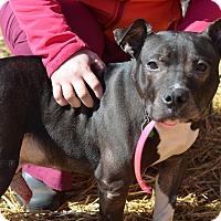 Adopt A Pet :: Boots(foster care) - Philadelphia, PA