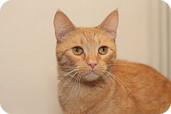 Domestic Shorthair Cat for adoption in Los Angeles, California - Walnut