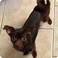 Chihuahua Mix Dog for adoption in Bedford, Texas - Hazel