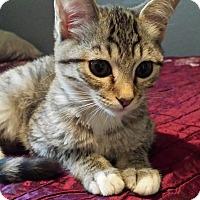 Adopt A Pet :: Cayenne - Chandler, AZ