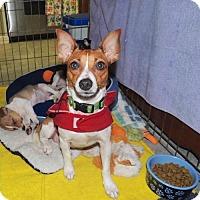 Adopt A Pet :: Bella (VA) - Virginia Beach, VA