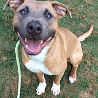 Pit Bull Terrier Mix Dog for adoption in Dallas, Georgia - Mio