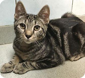 Domestic Shorthair Kitten for adoption in New York, New York - Alex (Manhattan)