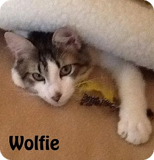 Domestic Shorthair Cat for adoption in Las Vegas, Nevada - Wolfie