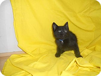Domestic Mediumhair Kitten for adoption in Canal Winchester, Ohio - Lima Bean