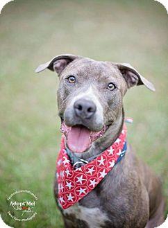 Staffordshire Bull Terrier/Labrador Retriever Mix Dog for adoption in Houston, Texas - Annie Sweet