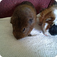 Guinea Pig for adoption in San Antonio, Texas - Chance & Chester
