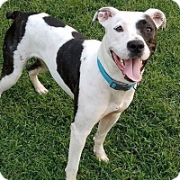 American Staffordshire Terrier/Boxer Mix Dog for adoption in Waxhaw, North Carolina - Star
