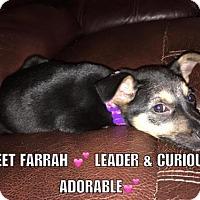 Adopt A Pet :: Farrah - Maple Grove, MN