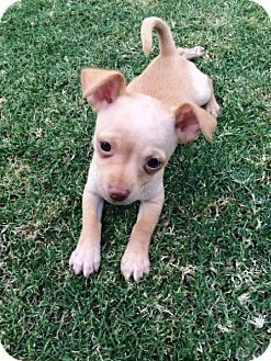 Chihuahua Puppy for adoption in Tempe, Arizona - Rudy